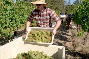 student gathering grapes in napa vineyard